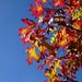 oak leaves against blue sky, Swannanoa River shopping center pkg lot