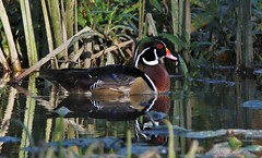 tucked in drake (don.white55 That's wild...) Tags: woodduckaixsponsamale drake wildwoodlake dauphincounty thatswildnaturephotography canoneos70d tamronsp150600mmf563divcusda011 bird duck woodies reflection birdeye birdwatching ngc ioo faves 100faves