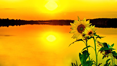 Juxtaposition (Bob's Digital Eye) Tags: 2017 bobsdigitaleye canon canonefs1855mmf3556isll flicker flowers h2o lakesunsets plants sunflower sunset sunsetsoverwater t3i water yellow laquintaessenza sky flower