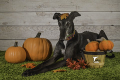 Happy Fall Y'all -- Explored (houndstooth4) Tags: dogs greyhound flattery dogchal ddc 3952 52weeksfordogs