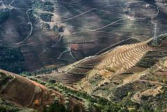DOURO VINEYARDS (Francisco (PortoPortugal)) Tags: 2302017 20121124fol8288 douro dourovinhateiro vineyards vinhas vinhodoporto portowine paisagem landscape autumn outono portugal portografiaassociaçãofotográficadoporto franciscooliveira