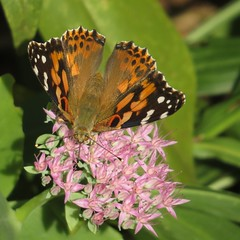 Painted Lady butterfly (Bug Eric) Tags: animals wildlife nature outdoors insects bugs butterflies nymphalidae lepidoptera capemay newjersey usa paintedlady vanessacardui northamerica september252017