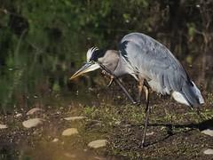Itchy heron (piranhabros) Tags: minolta500mmmirror mirrorlens eugeneoregon deltaponds scratch itch standing greatblueheron heron bird animal