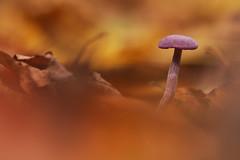 Amethistzwam - Amethyst deceiver (KarsKW) Tags: amethist amethistzwam groenendaal groenendaalse bos amethyst deceiver mushroom toadstool macro tamron 90 mm canon eos 750d