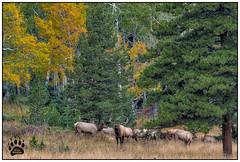 Bull Elk RMNP 092617-0594-W.jpg (RobsWildlife.com © TheVestGuy.com) Tags: ©2017robswildlifecom canoncamera falls nature nationalpark 092517 robsoutdoorphotography rmnp bullelk canon robswildlifecom estes colorado scenic naturelovers robswildlife fallfoliage robdaugherty naturephotography rockymountainnationalpark elk