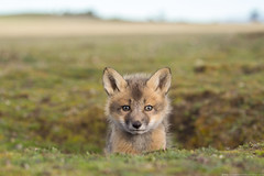 Red Fox (www.connorstefanison.com) Tags: approved red fox kit pup dog canine canid washington usa field den hole cute adorable furry baby little stare connor stefanison