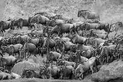 Mara Safari-8526.jpg (MudflapDC) Tags: africa safari herd marariver water vacation mara porinilioncamp plains zebra kenya greatmigration jump gamewatchers wildebeast maasaimara leap dive bw crossing wilderness masai