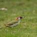 eurasian green woodpecker