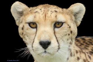 Cheetah - Gepard
