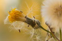 Last Hurrah, Take II (Karl's Gal) Tags: wow dandelion seeds seed autumn fall yellow karlsgal