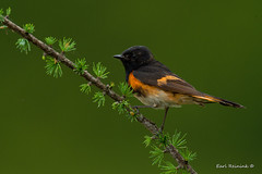 Redstart on a rainy day (Earl Reinink) Tags: bird animal nature nikon earl reinink earlreinink song songbird perch larch warbler american redstart americanredstart rain raining macro iuuaodidoa