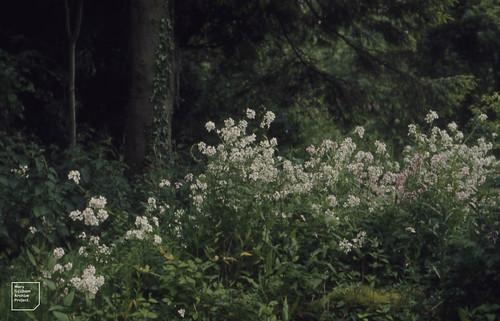 Hesperis matronalis near Castell Coch Forestry Office