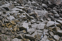 Herring gulls on Samson Beach, April 1982 (Mary Gillham Archive Project) Tags: 1982 22629 april1982 bird england herringgull island landscape larusargentatus sv8712 samson scillyisles unitedkingdom gb