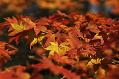 To the coloring autumn._A9_3381 (nabe121) Tags: sony α9 ilce9 fe emount sonyalpha sigma 50mm f14 dg hsm mount converter mc11 sae silkypix silkypixdeveloperstudiopro8 秋 紅葉 autumn leaves ngc national geographic nationalgeographic