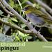 Yellow-throated Chlorospingus, Chlorospingus flavigularis