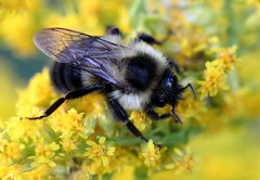 Comfort zone (mpalmer934) Tags: field goldenrod weeds insect pollen pollenation bumblebee bokeh yellow green black