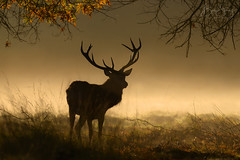 'The Lord of Light' (benstaceyphotography) Tags: cervuselaphus backlighting silhouette richmondpark reddeer deer stag nikon nature wildlife london glow autumn woodland trees mist fog morning sunrise dawn mammal buck rut