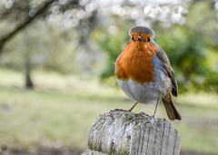 Feeling Chipper (daisyglade) Tags: robin bird garden mondaymorning attitude itllsoonbefriday yaaaay chipper mycariscompletelyfrozen quotebyterrywogan