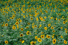Sunflowers (binxiusu) Tags: sunflower taiwan taipei sony a7rii taoyuan