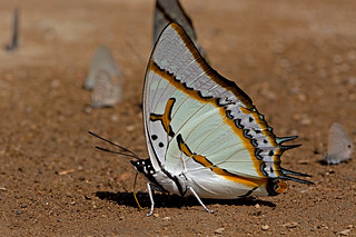 Polyura eudamippus - the Great Nawab