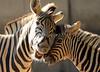 Damara zebra Duisburg BB2A2491 (j.a.kok) Tags: zebra damarazebra equus herbivore animal afrika africa duisburg mammal zoogdier dier