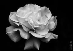 Roses - Las Garzas - 29 October 2017-10 (Johnny Edward Bankson) Tags: 50140mm chile edward flowersplants fujifilm fujinon fujinonxf50140mmf28rlmoiswrlens john johnbankson johnedwardbankson johnb lasgarzas lasgarzas1 photographer southamerica spring xt2 xf50140mmf28rlmoiswrlens backyard flower flowersandplants fotografia fotografo fotógrafo jardin jardín macro photographersonflickr photographersontumblr photography rosa rosas rose roses ©johnbankson