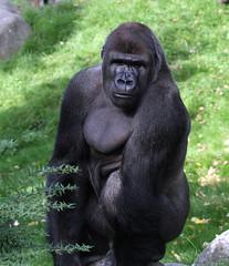 9842 Blijdorp mannetje Bokito groep (j@n2012) Tags: blijdorpzoo bokito gorilla anthropoidape mensaap