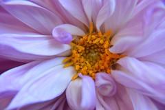 Makro Blütenstempel (Lilith-Luana) Tags: natur makro stempel blumen farbenfroh blossom closeup blume nature lila orange hell feundlich pollen pollenstaub