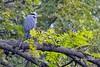 Grumpy Heron. (nondesigner59) Tags: ardeacinerea greyheron bird nature wildlife grumpy copyrightmmee eos7dmkii nondesigner nd59