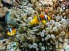 Red Sea Anemonefish IMG_8884 (David Whistlecraft) Tags: canong12 seasea seaseays27dx underwaterphotography redsea underwater underwaterimages scubadiving scuba marinelife marinefish redseaanemonefish anemonefish