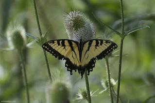 Butterfly 2017-135