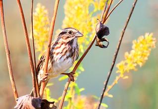song sparrow on cup plant at Decorah Prairie IA 854A5696