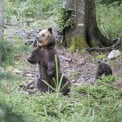 IMG_6703 (Branko.Hlad) Tags: medvedka bears gozd narava živali animals
