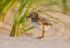 American Oystercatcher Chick (nikunj.m.patel) Tags: shorebird chick baby avian americanoystercatcher nature wildlife birds bird migration summer nikon