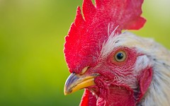rooster (40) (Vlado Ferenčić) Tags: animals animalplanet rooster birds zagorje vladoferencic hrvatska vladimirferencic croatia klenovnik nikond600 sigma15028macro