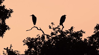 Pair of grey herons (Ardea cinerea) silhouetted preening and sitting in tree