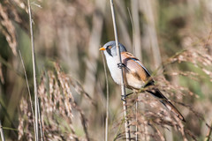Bearded Tit (Faustusk) Tags: animals bird canon feathers grass norfolk outdoors wildlife rspb