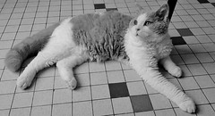 Néo becomes a big boy ;) (Antiphane) Tags: chat cat chaton kitten selkirk rex pet animal de compagnie