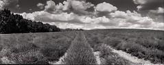Provence 07 2017010 (Patrick.Raymond (3M views)) Tags: 04 haute provence valençole plateau lavande argentique mallefougasse lomography tmax horizon perfekt