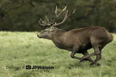 Red Deer Stag On the Move