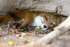 🍂 🍁 🍄 (DunkelBunt_) Tags: fuchs herbst autumn fox sleeping schlafen schlaf poing wildpark wildlifepark outdoor sonne sun canon eos 6d 70200