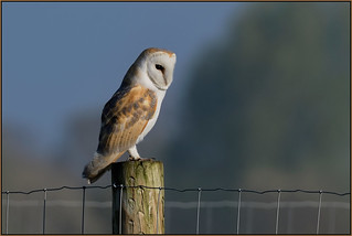 Barn Owl (image 1 of 2)