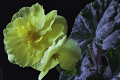 Begonia (Alzheimer1) Tags: gelb yellow flower green leaves