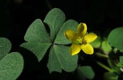 Creeping wood sorrel (Jeff Goddard 32) Tags: creepingwoodsorrel oxalis garden midlandschoolproperty santabarbaracounty california nonnative