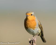 Robin (RCB4J) Tags: ayrshire erithacusrubecula nature rcb4j ronniebarron scotland sigma150500mmf563dgoshsm sonyilca77m2 art eryth photography robin wildbird wildlife lochwinnoch rspb reserve