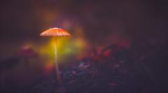 Dreamy Mushroom (Dhina A) Tags: sony a7rii ilce7rm2 a7r2 lensbaby velvet 56 56mm f16 macro lensbabyvelvet5656mmf16 bokeh portrait art lens 4elements 3groups dreamy mushroom autumn fall