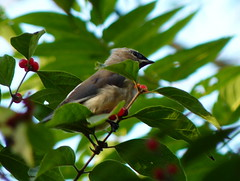 Cedar Waxwing (Dendroica cerulea) Tags: cedarwaxwing bombycillacedrorum bombycilla bombycillidae bombycilloidea passerida passeri passeriformes psittacopasserae eufalconimorphae neoaves neognathae neornithes aves bird waxwing autumn highlandparkmeadows highlandpark middlesexcounty nj newjersey