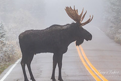 Massive bull Moose crosses the road