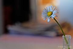 daisy in the light (Fay2603) Tags: blume flower fleur fiore makro gänseblümchen daisy small little white blanc bianco leaves blütenblättchen blütenblätter stiel gelb yellow giallo pastell schwarz