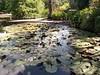 Brisbane Botanic Gardens (mattlevine17) Tags: lilypond brisbane australia lily botanic garden